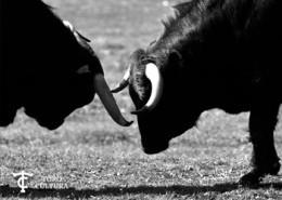 ganadería de toros