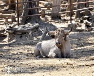 Cebada Gago, Toros en el campo.